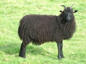 Rare Breed Hebridean Sheep